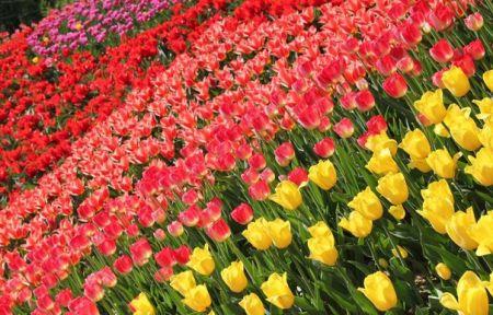 Городская Выставка - фестиваль тюльпанов Вокруг света 2020 (20 апреля - 27 мая)