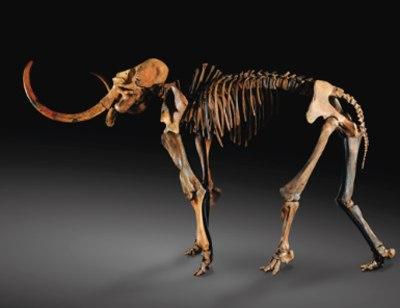 Французские археологи обнаружили скелет взрослого мамонта