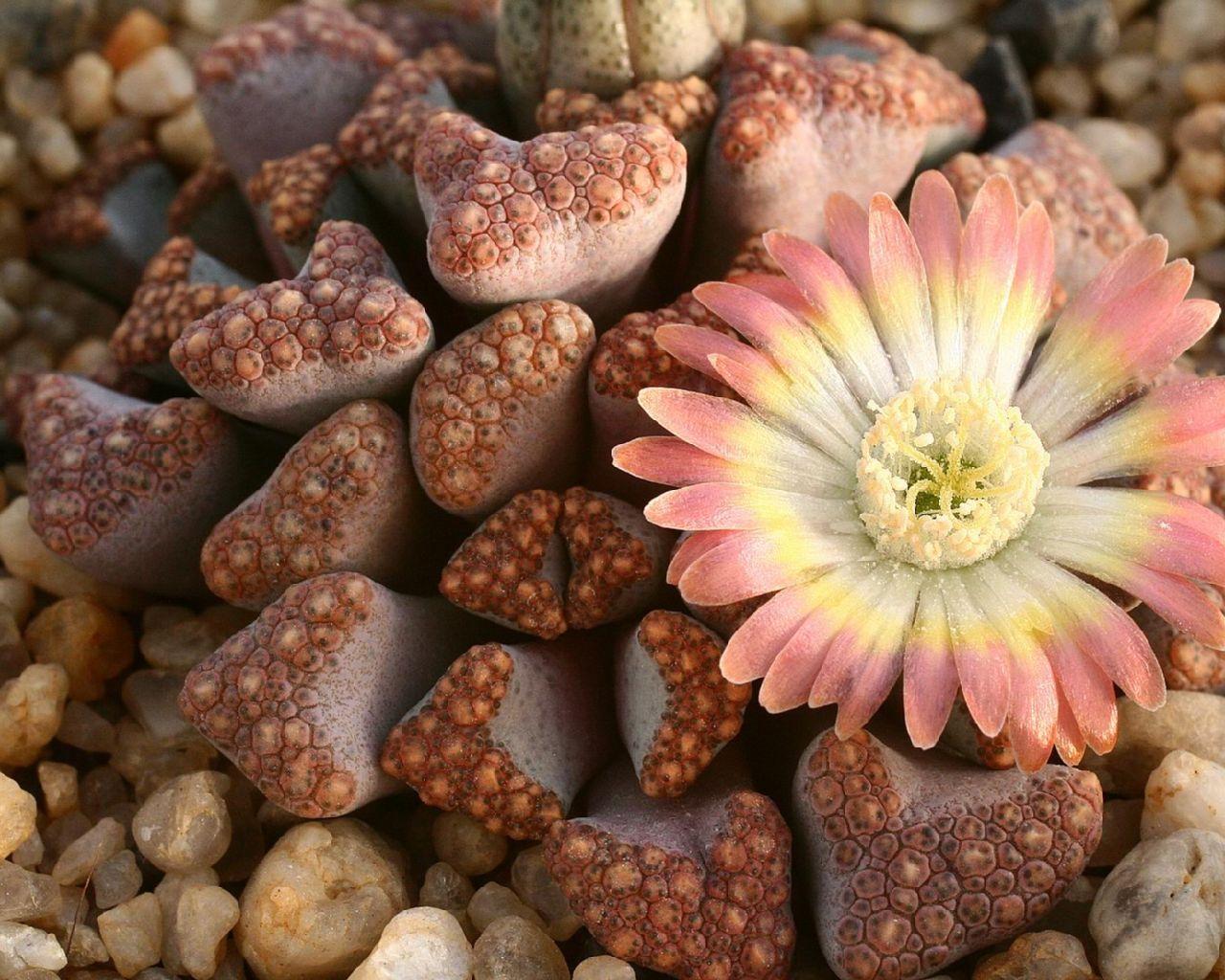 Живые камни цветы фото