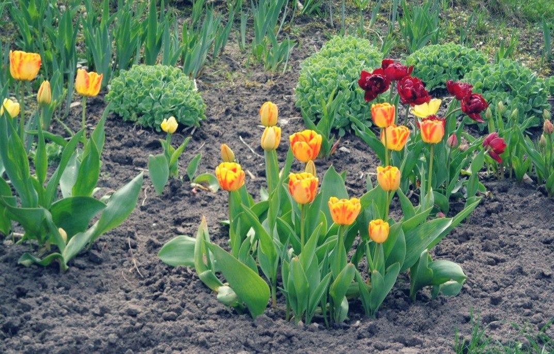 Посадка тюльпанов, как и когда сажать луковицы - Дачные советы 7