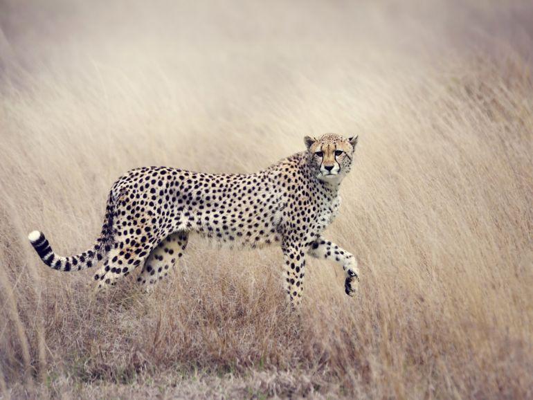 Как охотится гепард?