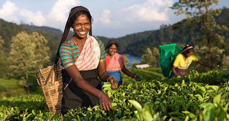 Шри-Ланка чайные плантации