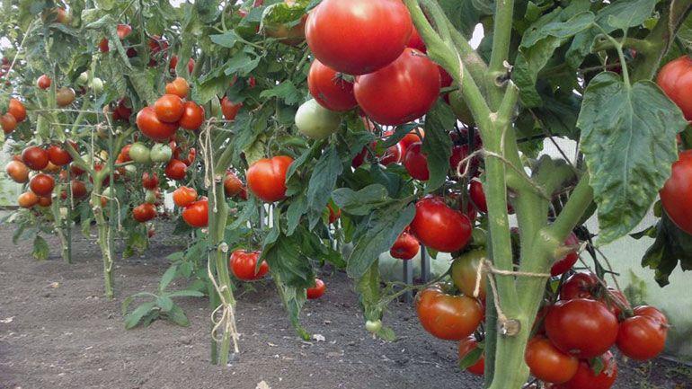 Как повысить урожай Помидоры