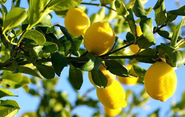 Лимон. Лимонное дерево
