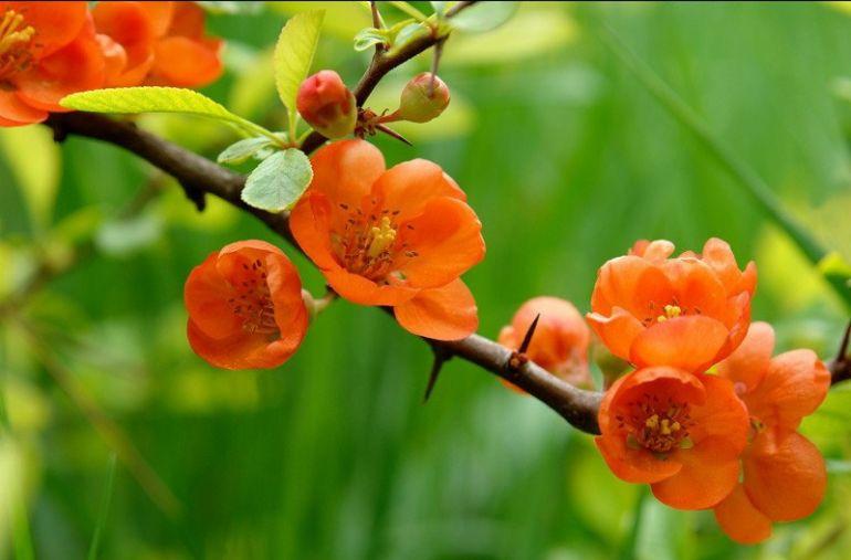 Растение хеномелес. Цветение