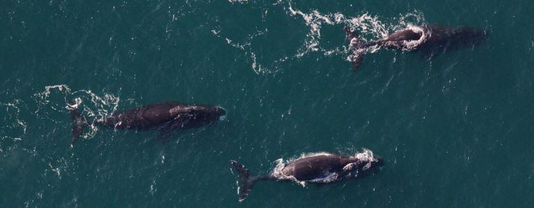 Песни гренландских китов сравнили с джазом. Они меняются каждый год
