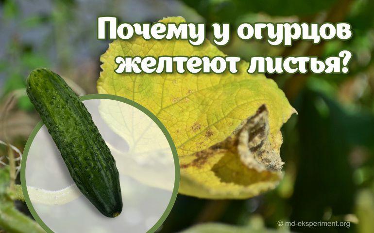 Почему желтеют листья у огурцов?