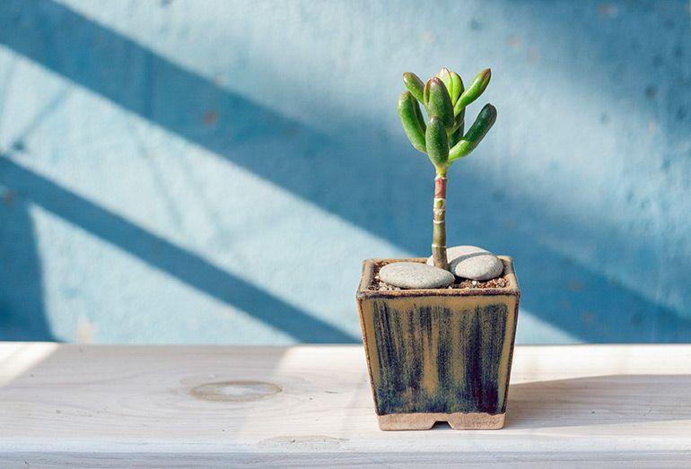 Crassula ovata Hobbit money plant jade tree