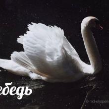 Лебедь. Читать рассказ Валерии Светлаковой