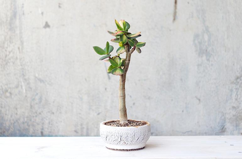 Крассула Солана Грошове дерево Бонсай Фото