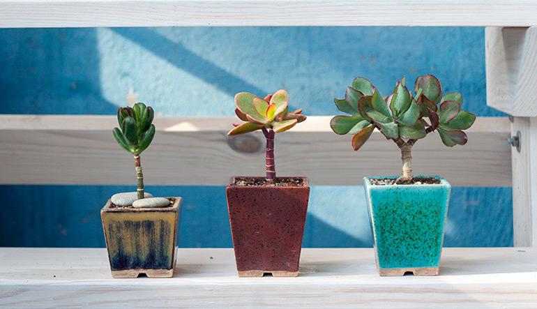Крассула Хоббіт, Геліос, Синій птах. Грошове дерево в стилі Бонсай. фото