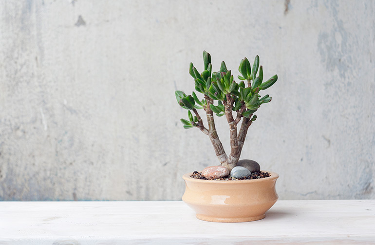 bonsai Crassula ovata Coral. jade plant