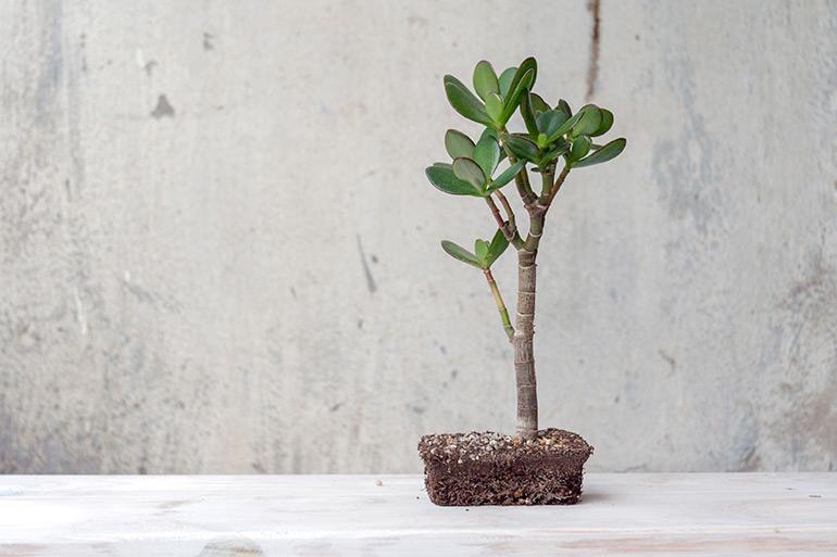Крассула овата Грошове дерево Бонсай Фото Товстолист